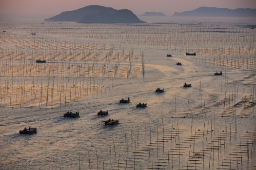 "With a small percentage of land that is suitable for agriculture, China makes intensive use of the sea. Fujian Province has had most of its wild fishery depleted, so the shallow muddy coastline has been divided up into vast tracts of aquaculture for fish, seaweed, and shellfish. Here small boats are seeing heading out at sunrise to harvest seaweed in north end of Funing Bay, just outside of Xiapu harbor. The seaweed, called ""tsai"", is eaten in soup."